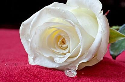 Mahmood_Foto einer Rose